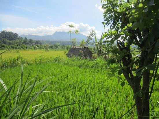 Cabe Bali: Adjacent rice fields