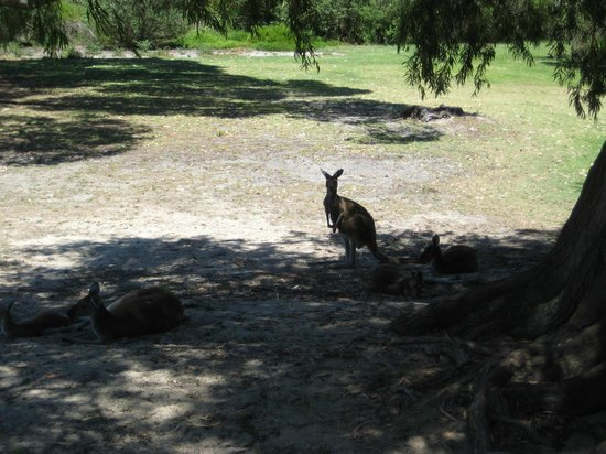 Yanchep National Park: Kangaroos in shade