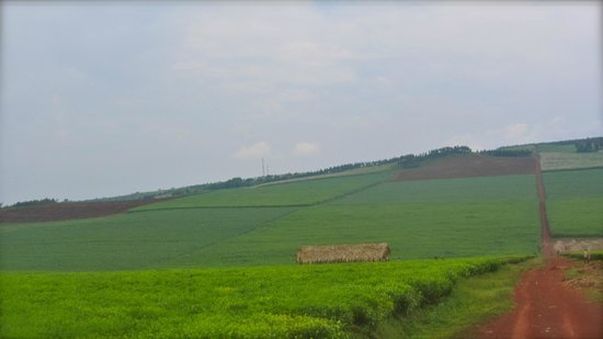 Nile Horseback Safaris - Day Tours : Riding through a Tea Plantation