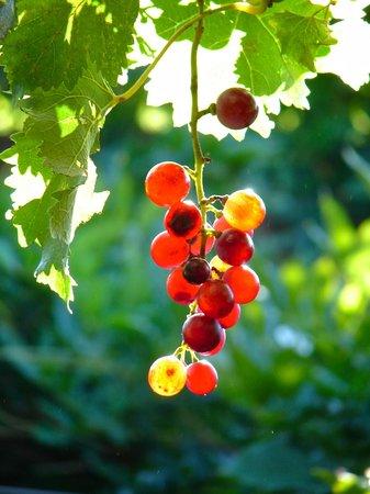 Biber Evi : Grape vines everywhere.