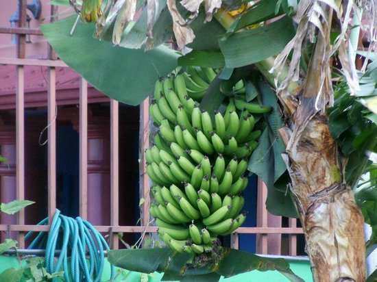 Casa Bella Rita Boutique Bed & Breakfast: Banana tree!