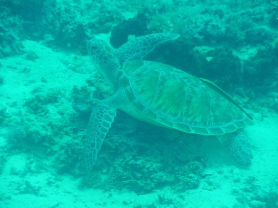 Blue Marlin Dive Gili Trawangan: One of many turtles