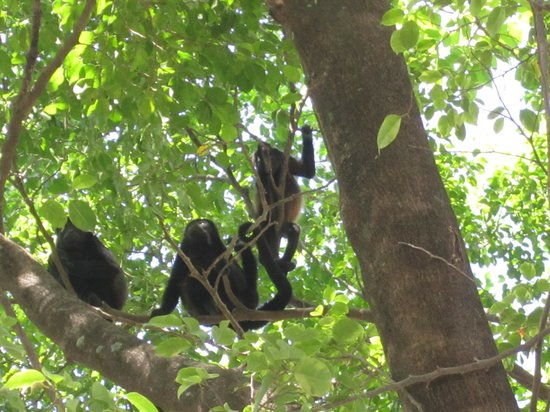 Occidental Papagayo - Adults only: Monkeys in the trees out from of our unit