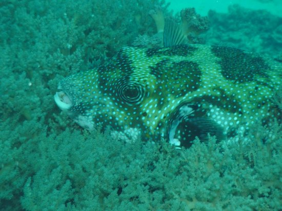 Blue Marlin Dive Gili Trawangan: Puffer fish