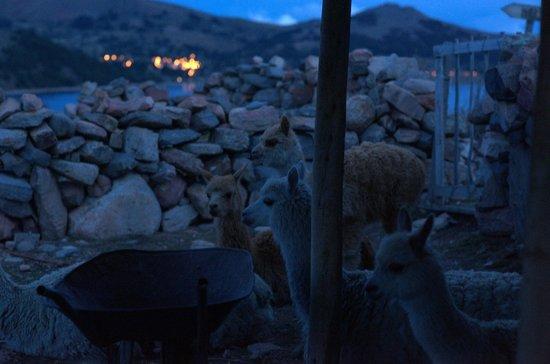 Isla Suasi Hotel: Alpacas