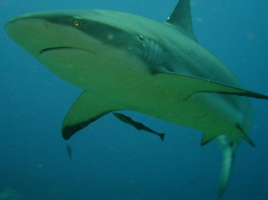 Reef House Resort: No cage at the shark dive. Yes, that close