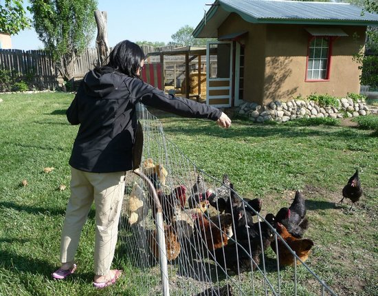 Casa Gallina : Feeding the chickens