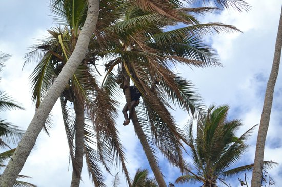 Robinson Crusoe Island Resort: Coconut tree climbing