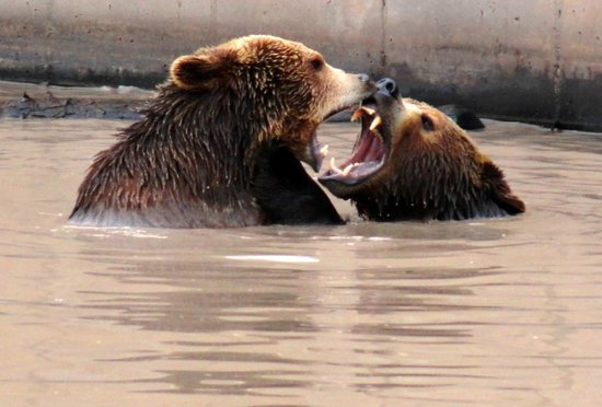 Jake & Maggi, Amorous Bears, Montana Grizzly Encounter