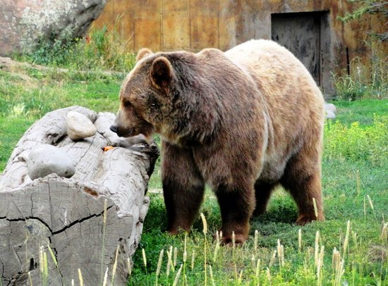 Brutus the Bear, Movie & TV Personality, Montana Grizzly Encounter