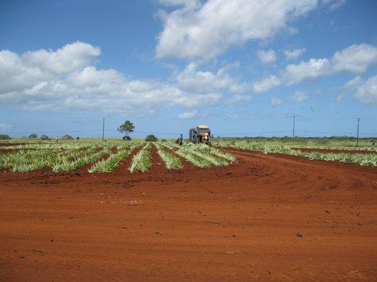 Dole Plantation: grove