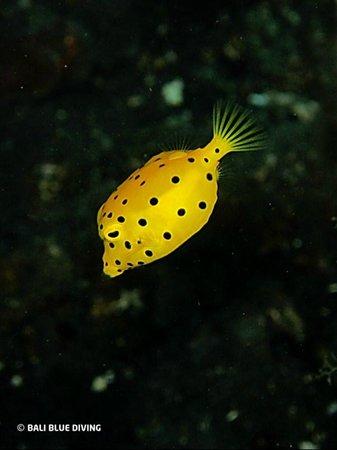 Bali Blue Diving PADI Resort: Yellow boxfish, Tacitolo, Timor