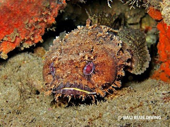Bali Blue Diving PADI Resort: Toad Fish, Behau, Timor