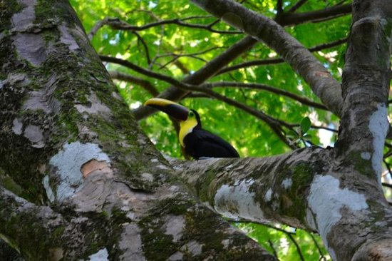 Tucan Terra: Welcome to Toucan Terra! You'll see these guys almost everyday!