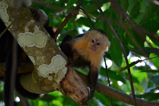 Tucan Terra: The baby white-faced capuchin monkeys are adorable!