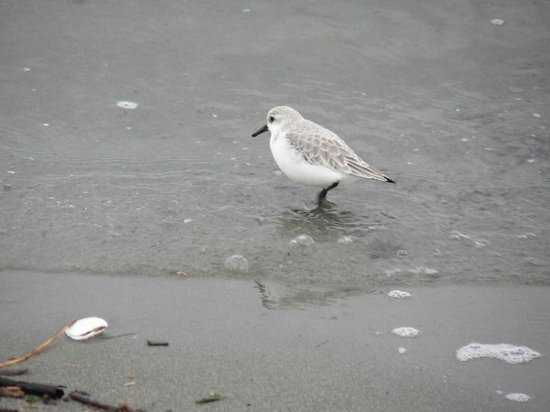 Discovery Park: Sanderling in the waves on North Beach