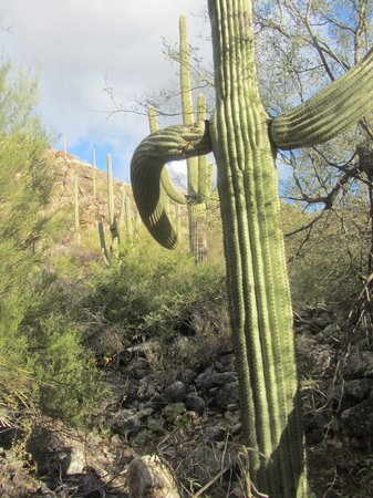 Canyon Cafe : Saguaro Cactus