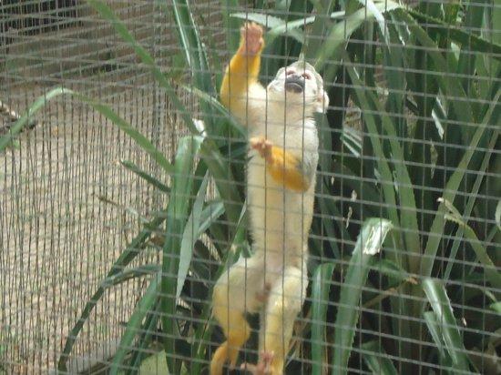 Itatiba, SP: Macaco-de-cheiro