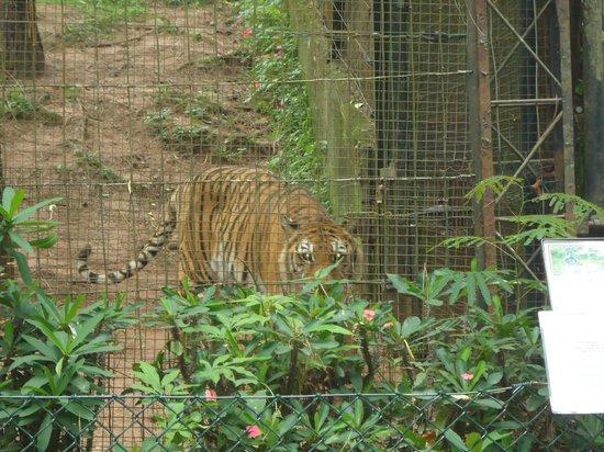 Itatiba, SP: Tigre