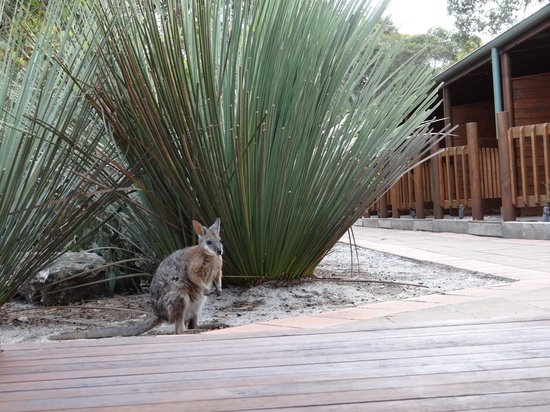 Kangaroo Island Wilderness Retreat: Wallaby visiting the courtyard