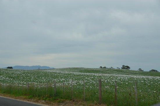 Marakoopa Cave: Opium field 1