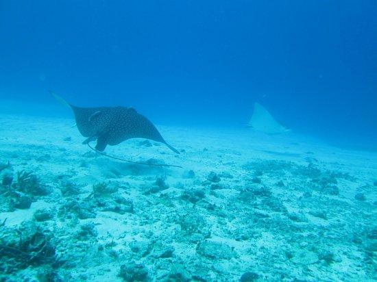 Eco Divers : Eagle rays