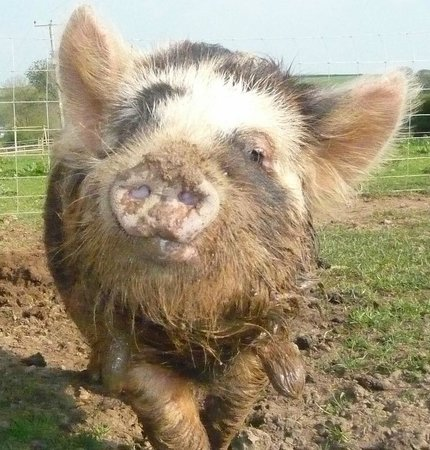 Birchill Farm Holiday Cottages: Oink Oink!