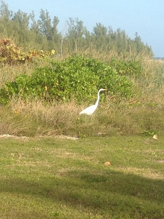 Pelican Bay at Lucaya: Beautiful bird (Egret?) at Taino beach