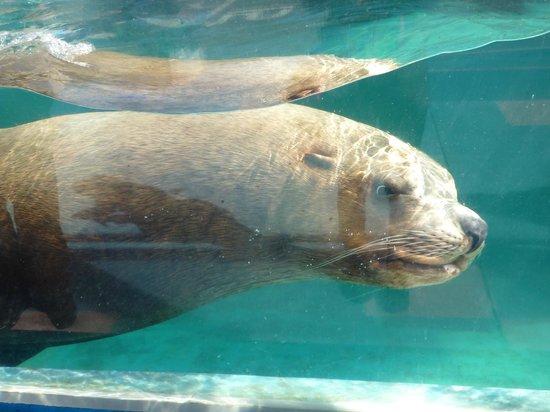 Ise Sea Paradise (Ise Meotoiwa Interactive Aquarium): トドチャン