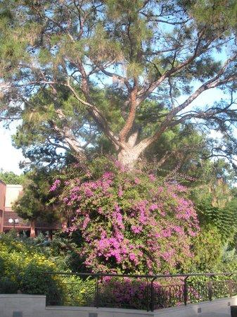 PALOMA Foresta Resort & Spa: Magnifique buisson de bougainvillé à l'entrée du parc hôtelier