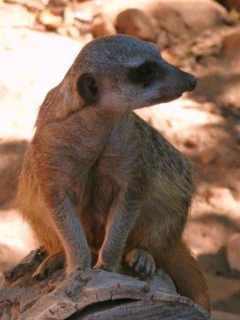 Wildlife World Zoo and Aquarium: Merkat