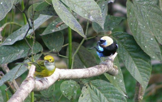Esteban Daily Guided Tours: Golden hooded tanager (focus)