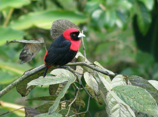 Esteban Daily Guided Tours: Crimson collared tanager