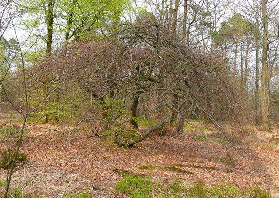 Foret Domaniale de Verzy: hêtres tortueux en automne