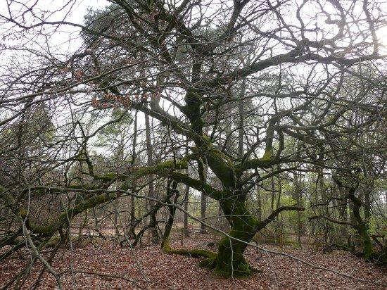 Foret Domaniale de Verzy: hêtres tortueux en hiver