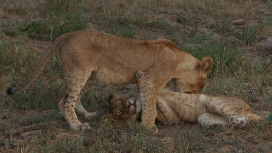 Naledi Bushcamp and Enkoveni Camp: singwe cubs!