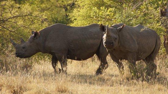 Naledi Bushcamp and Enkoveni Camp: 2 of the 4 black rhino we saw over 3 days