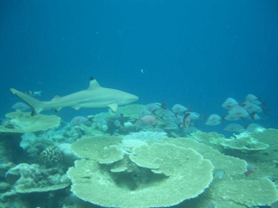 Kuramathi Island Resort: 2m black tip snorkling on fan reef