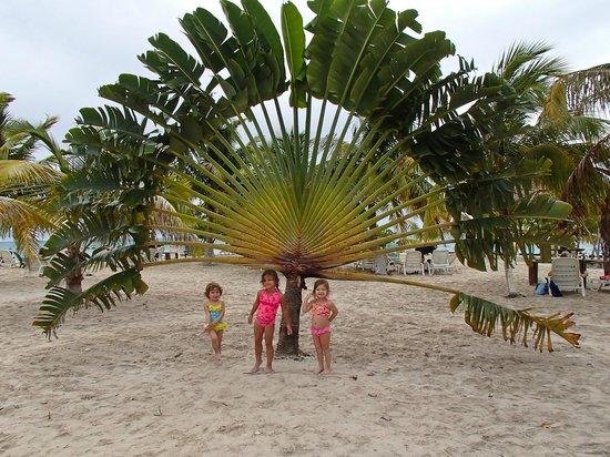 fan palm trees. bannister island: the fan palm tree trees