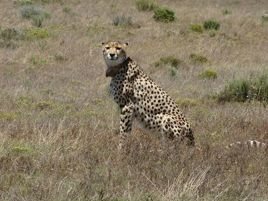 Garden Route Game Lodge: Female Cheetah