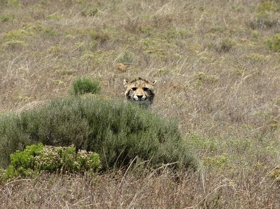 Garden Route Game Lodge: Cheetah Cub