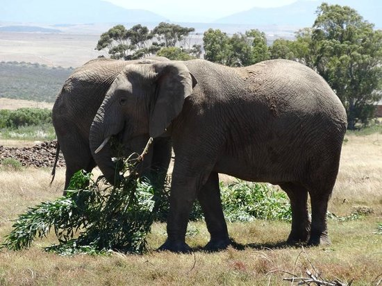 Garden Route Game Lodge: Hungry Elephants