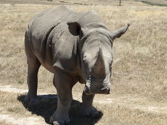 ‪‪Garden Route Game Lodge‬: White Rhino