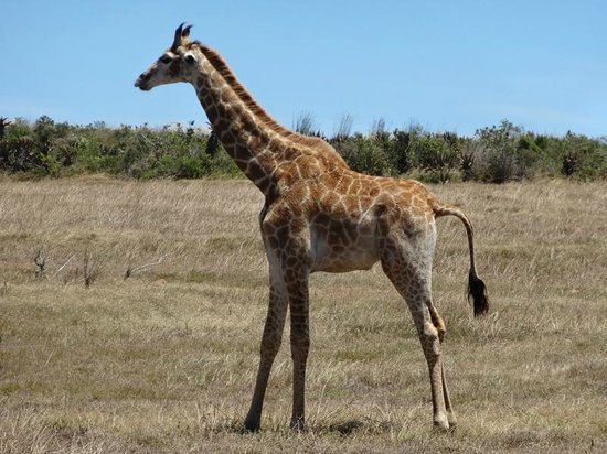 Garden Route Game Lodge: Baby Giraffe