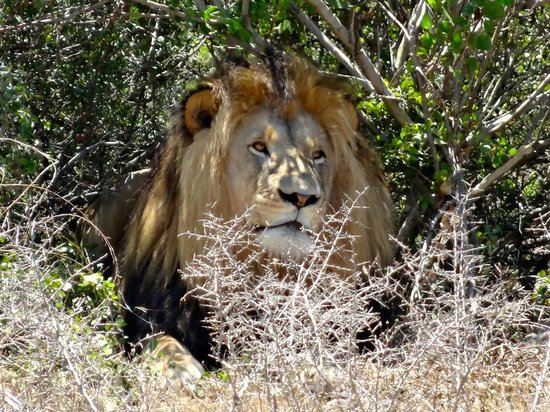 Garden Route Game Lodge: A very Hot Lion