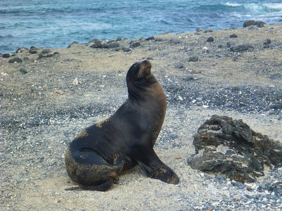Redmangrove: Beautiful sea lion