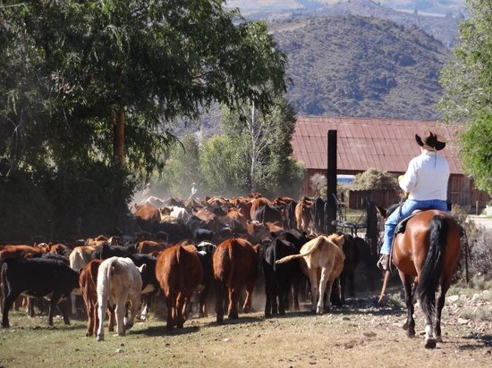 Hunewill Guest Ranch : Driving the cattle