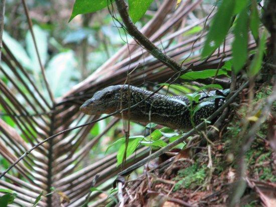 Tetepare Island Eco-lodge: Monitor lizard
