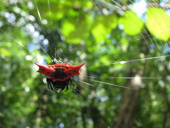 Tetepare Island Eco-lodge: Weird spider seen on a trek