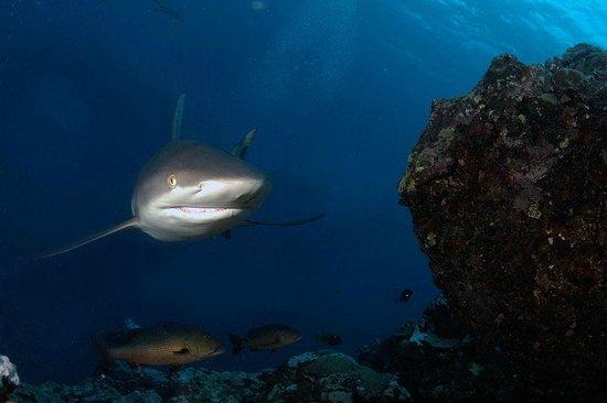 Manta Ray Bay Resort: Shark Feeding at Vertigo, 12-28-12 
